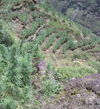 Cannabis Landrassen