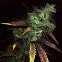 Sativa-Grow