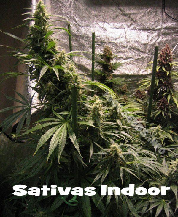 wie baue ich Sativas Indoora an, Sativas drinnen, Grow-Tipps