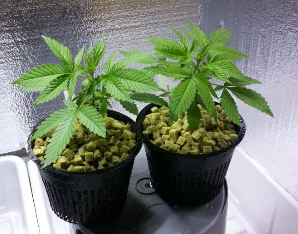 Cannabispflanzen beschneiden