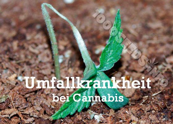 Probeme mit Keimlingen, Cannabis keimen