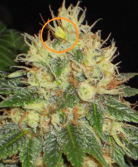 Zwitterbildung bei Cannabis