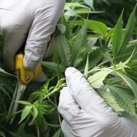 Stecklinge Cannabis machen