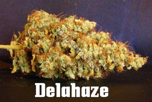 delahaze-Paradise-Seeds