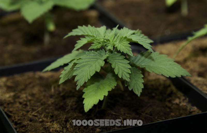junge Cannabispflanzen