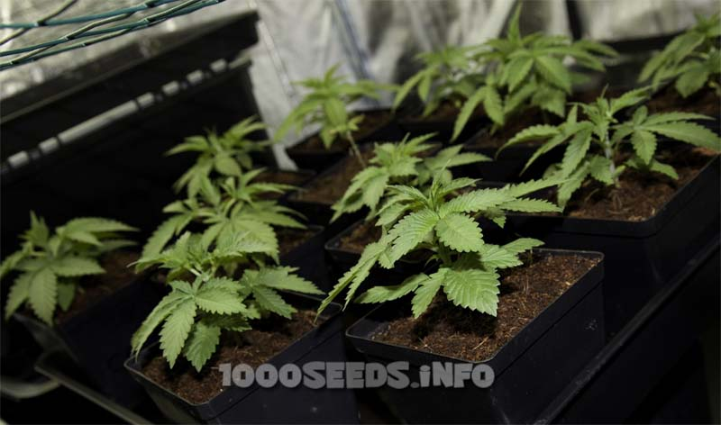 junge Pflanzen Cannabis