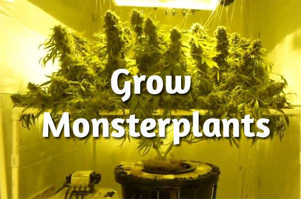 monsterplants-Cannabis, große Cannabispflanzen