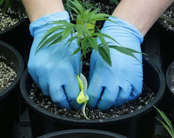 Cannabispflanzen vermehren
