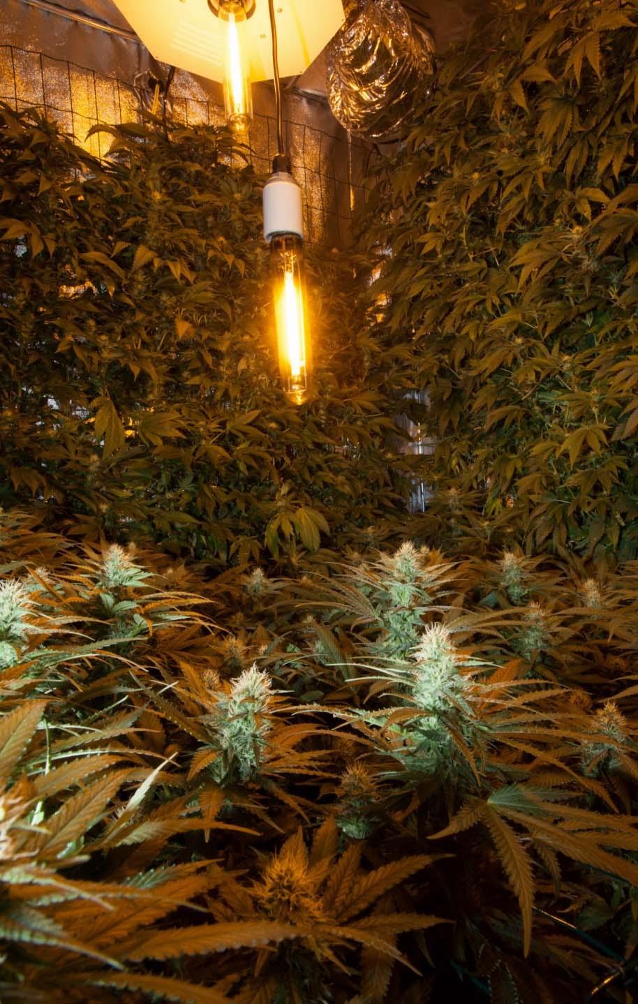 SCROG Marijuana