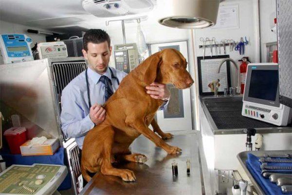tiere-Cannabis, Tiere mit Cannabis behandeln, Hunde Cannabis