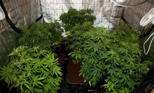 vertical-scrog, Cannabisanbau, Cannabis Indoor