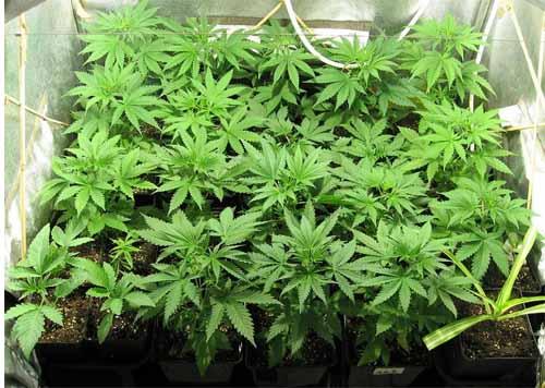 Anzahl der Pflanzen im Grow-Room