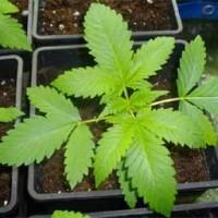 Cannabis Versorgung mit Wasser