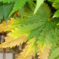 Überdüngung bei Cannabispflanzen