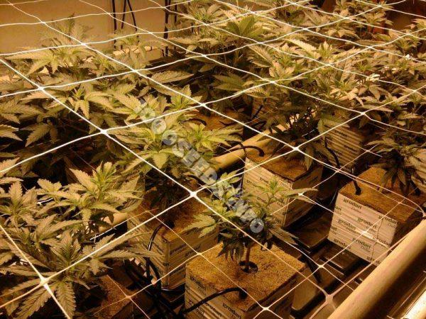 Grow mit Steinwolle, Cannabisanbau auf Steinwolle