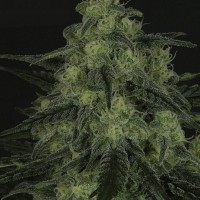 Black Valley von Ripper Seeds