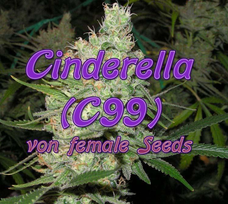 Cinderella, C99 von female Seeds