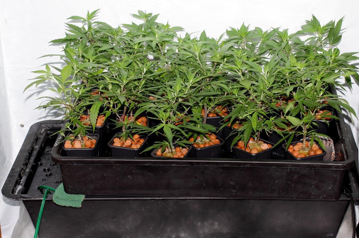 hydroponisch anbauen mit Pebbles