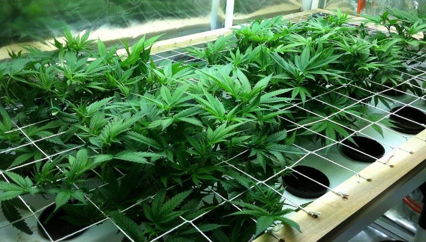 Cannabis aeroponisch anbauen