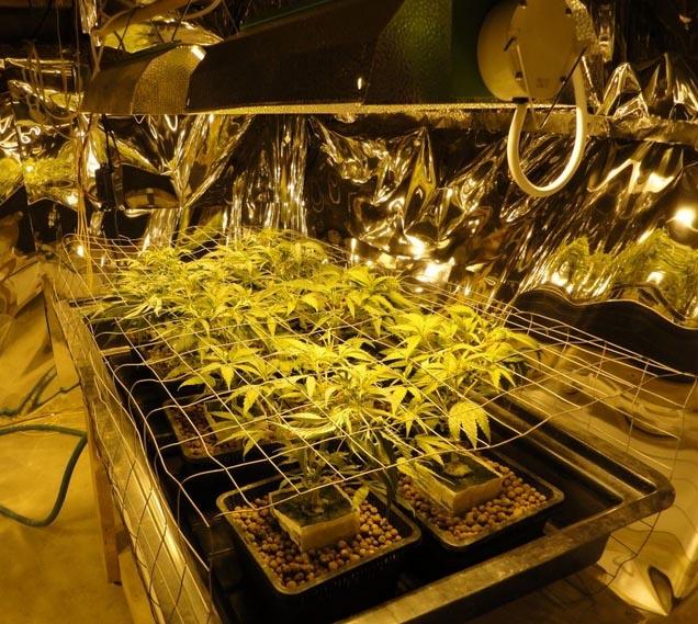 Cannabis in hydroponischen Systemen anbauen
