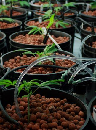 Tropfsystem Cannabis