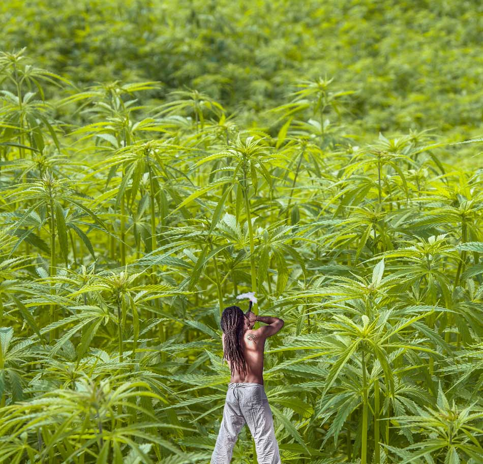Cannabis-Sorten, Strainberichte, Sortenberichte Marijuana
