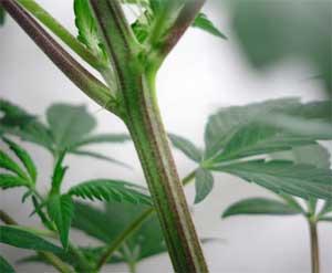 lila-Stiele-Cannabis