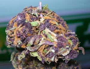 purple cannabis sorten albinos und was farben ber krankheiten und gesundheit aussagen 1000seeds. Black Bedroom Furniture Sets. Home Design Ideas