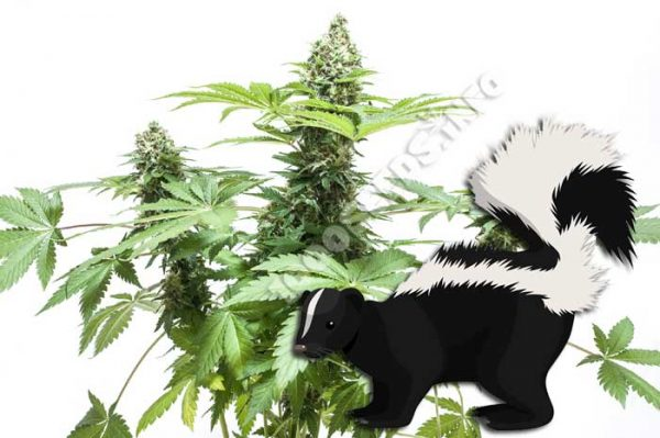 skunk, was ist skunk, Cannabis-Sorten, Seedshop