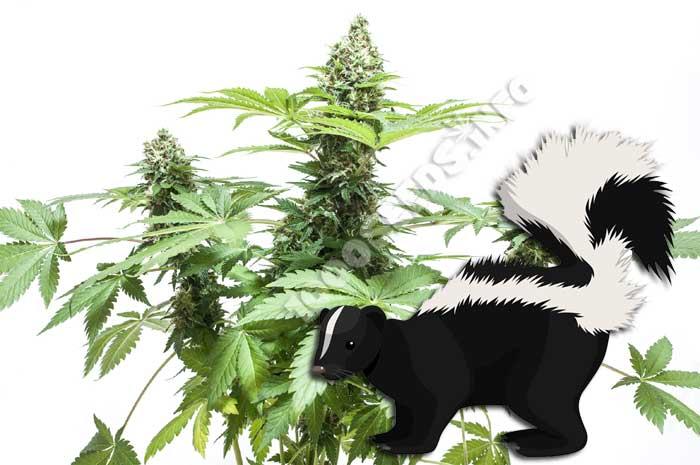 skunk, was ist skunk, Cannabis-Sorten, Seedshop