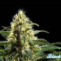 Black Bomb, Philosopher Seeds