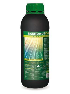 Bachumus-Trabe
