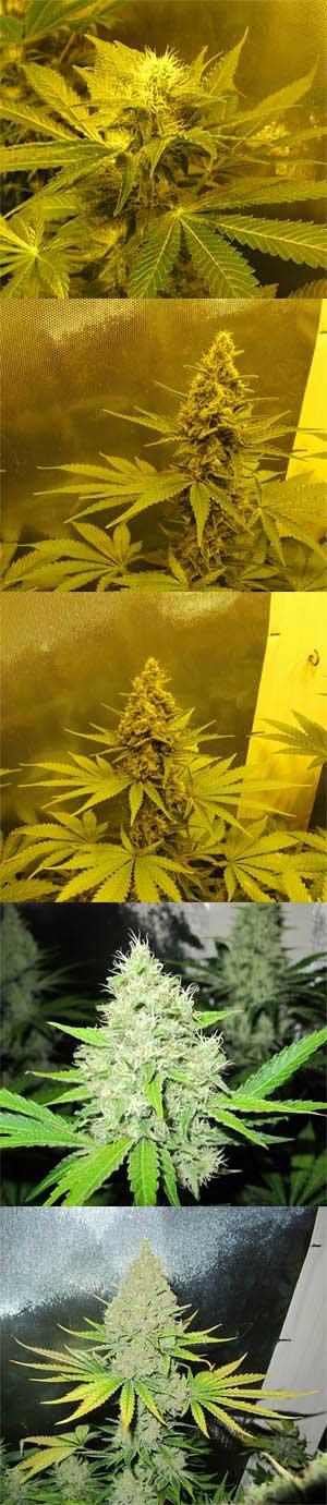Blütephasen von Cannabis, Grow-Lexikon