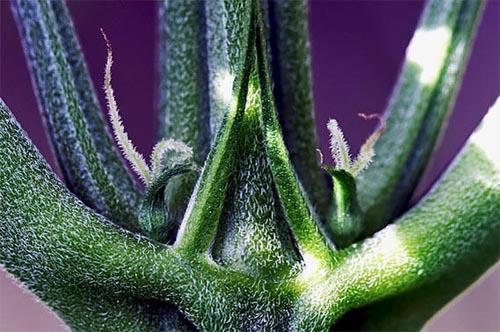 Beginn der Bläte bei Cannabis, Vorblüte, Grow-Blog 1000Seeds