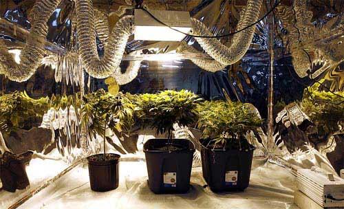 Beginn der Bläte. Wie leite ich die Blüte ein? Cannabisanbau, Gow-Tipps