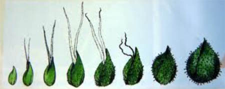 Kelche Blüte, Phasen der Cannabisblüte, Grow, Cannabis-Lexikon