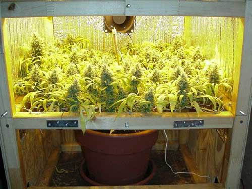 cannabis anbau in kleinen growboxen minigrows 1000seeds. Black Bedroom Furniture Sets. Home Design Ideas