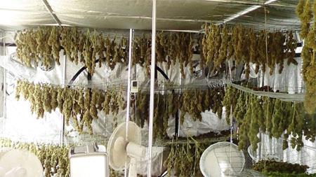 Reifung Cannabis