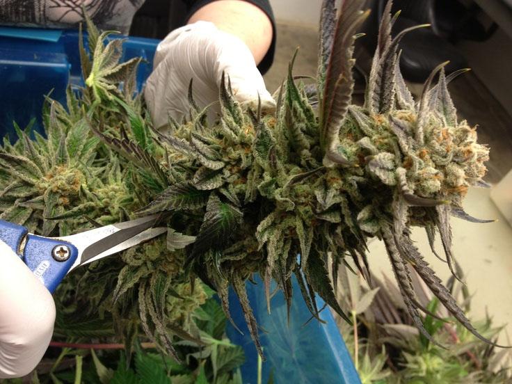 Cannabis Buds richtig trimmen