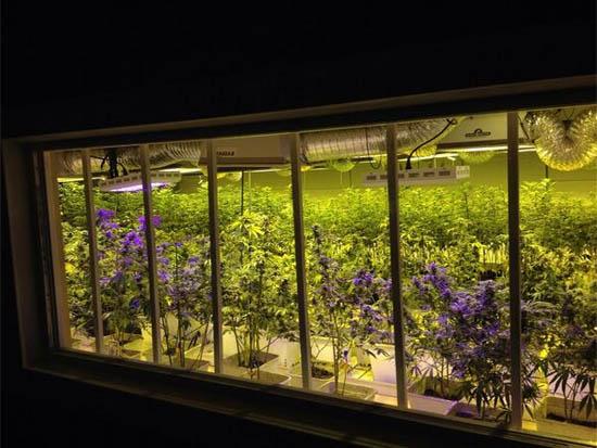 Harzproduktion steigern Cannabis