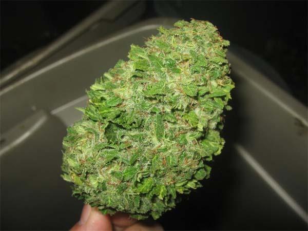 Buds trimmen