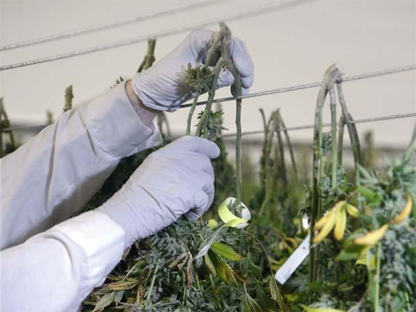 Cannabispflanzen aufhängen