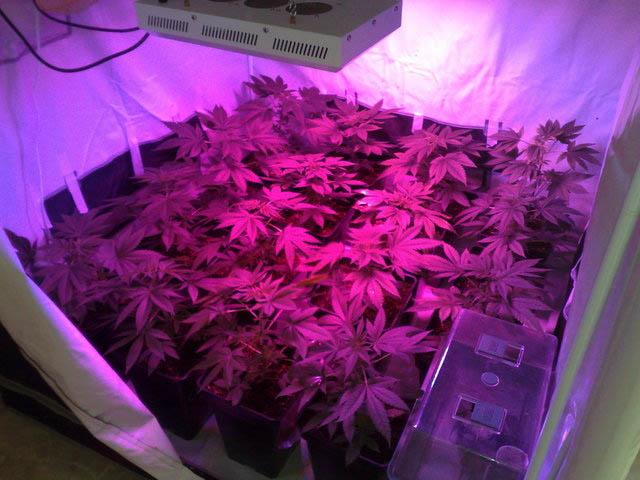 LED Cannabis anbauen, große Harzproduktion