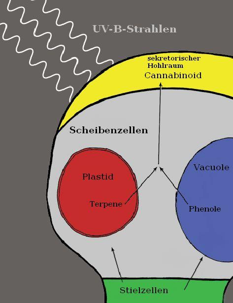 Cannabinoidbildung