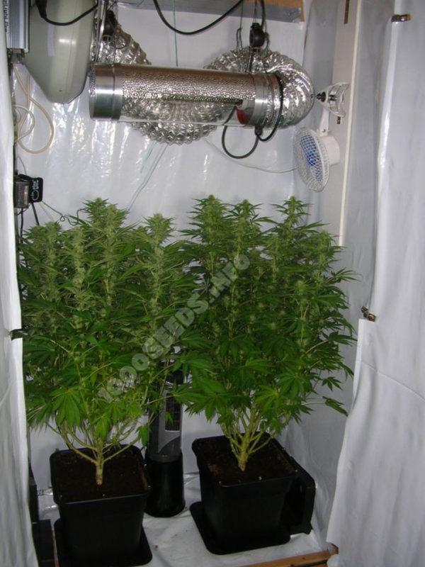 Grow-im-Schrank, Mini-Grow, Anbau wenig Platz