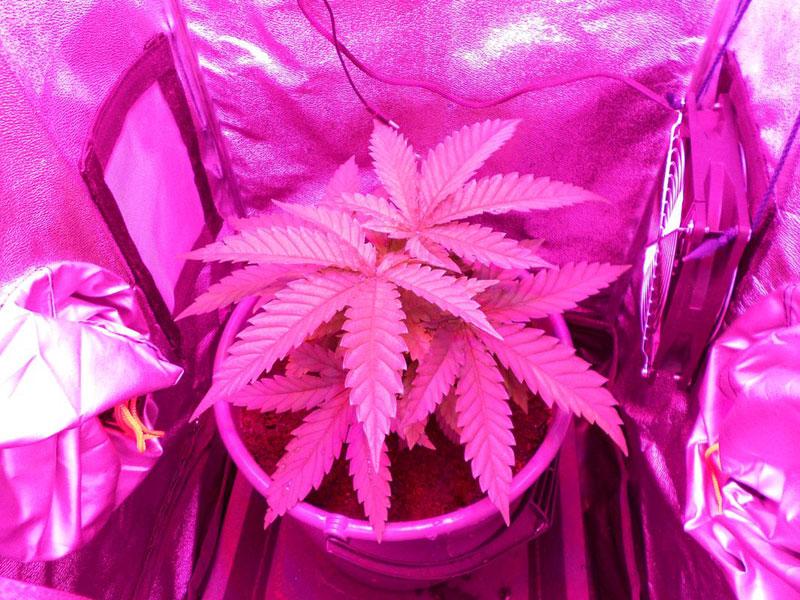 Grow bei wenig Platz, Cannabisanbau, Grow-Tipps, Grow-Lexikon