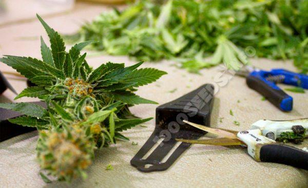 trimming-buds, Buds richtig trimmen, ernten