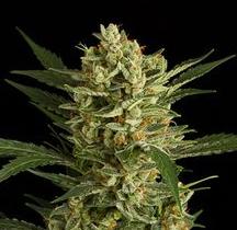 große autoflowering Cannabis-Sorten