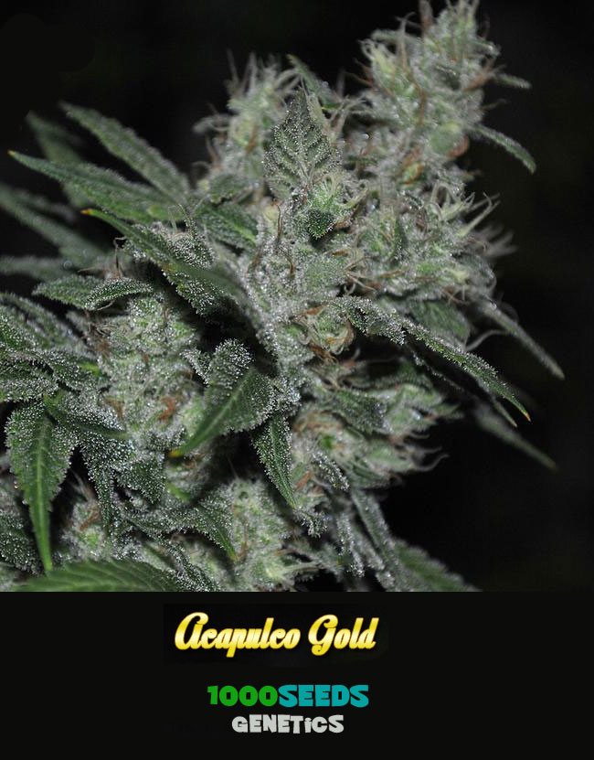 Acapulco-Gold,-1000Seeds-Genetik