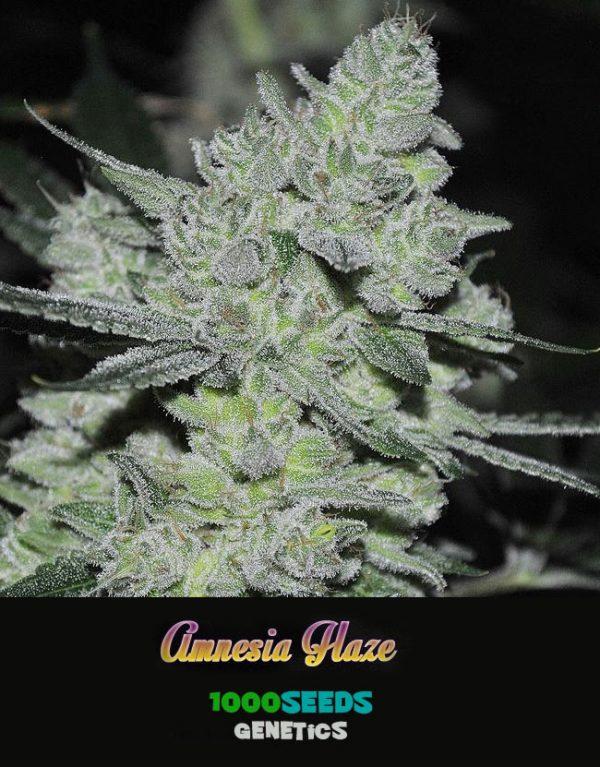Amnesia-Haze, 1000Seeds Genetics, feminisierte Cannabis-Samen